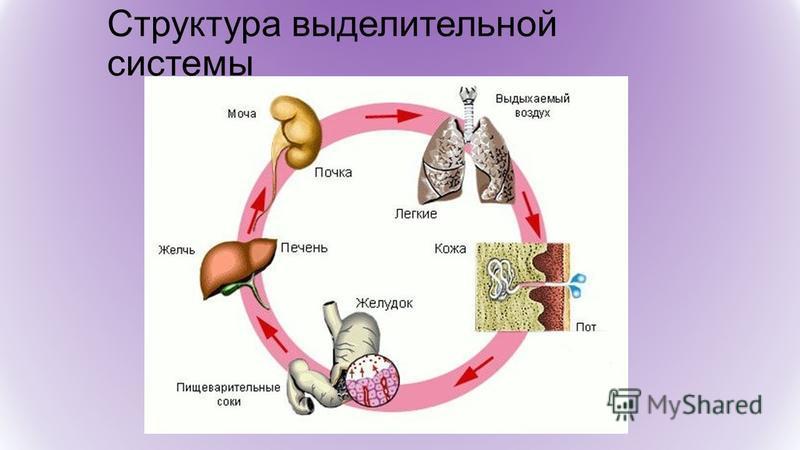 Структура выделительной системы