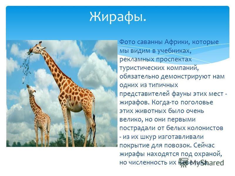 Фото саванны Африки, которые мы видим в учебниках, рекламных проспектах туристических компаний, обязательно демонстрируют нам одних из типичных представителей фауны этих мест - жирафов. Когда-то поголовье этих животных было очень велико, но они первы