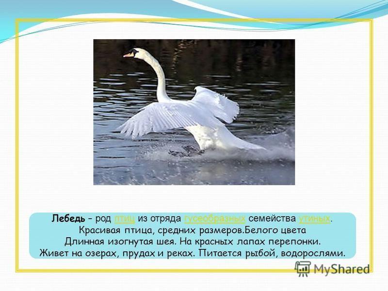 Лебедь – род птиц из отряда гусеобразных семейства утиных.птицгусеобразныхутиных Красивая птица, средних размеров.Белого цвета Длинная изогнутая шея. На красных лапах перепонки. Живет на озерах, прудах и реках. Питается рыбой, водорослями.