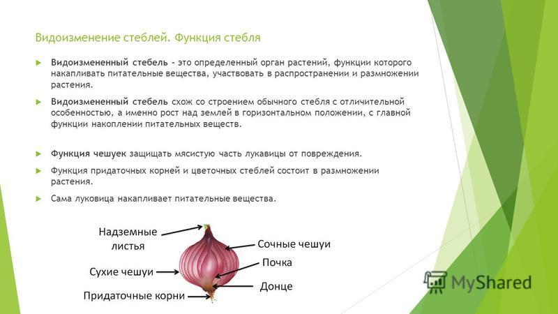Видоизменение стеблей. Функция стебля Видоизмененный стебель – это определенный орган растений, функции которого накапливать питательные вещества, участвовать в распространении и размножении растения. Видоизмененный стебель схож со строением обычного