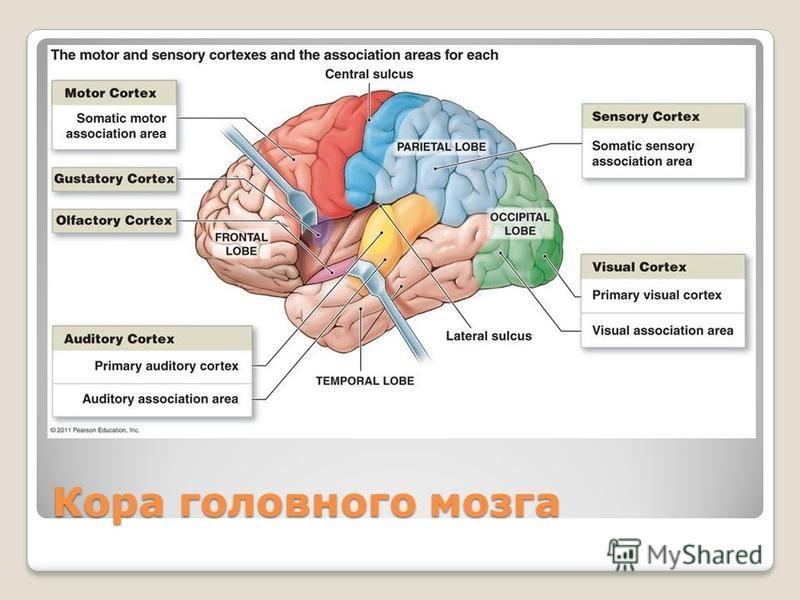 Кора головного мозга