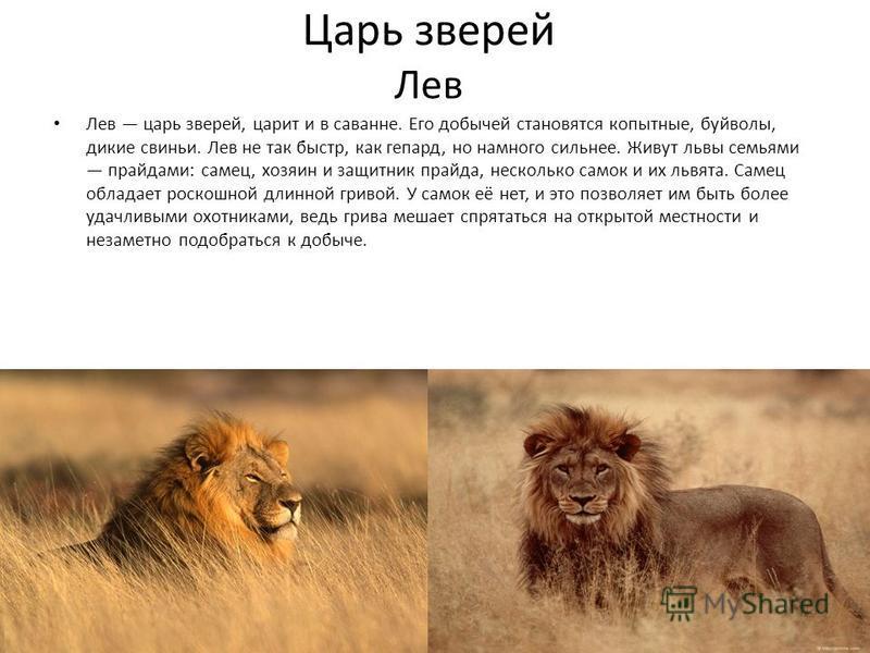 Царь зверей Лев Лев царь зверей, царит и в саванне. Его добычей становятся копытные, буйволы, дикие свиньи. Лев не так быстр, как гепард, но намного сильнее. Живут львы семьями прайдами: самец, хозяин и защитник прайда, несколько самок и их львята. С