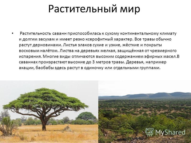 Растительный мир Растительность саванн приспособилась к сухому континентальному климату и долгим засухам и имеет резко ксерофитный характер. Все травы обычно растут дерновинами. Листья злаков сухие и узкие, жёсткие и покрыты восковым налётом. Листва