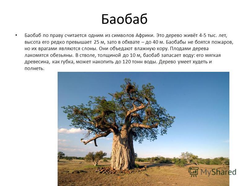 Баобаб Баобаб по праву считается одним из символов Африки. Это дерево живёт 4-5 тыс. лет, высота его редко превышает 25 м, зато в обхвате – до 40 м. Баобабы не боятся пожаров, но их врагами являются слоны. Они объедают влажную кору. Плодами дерева ла