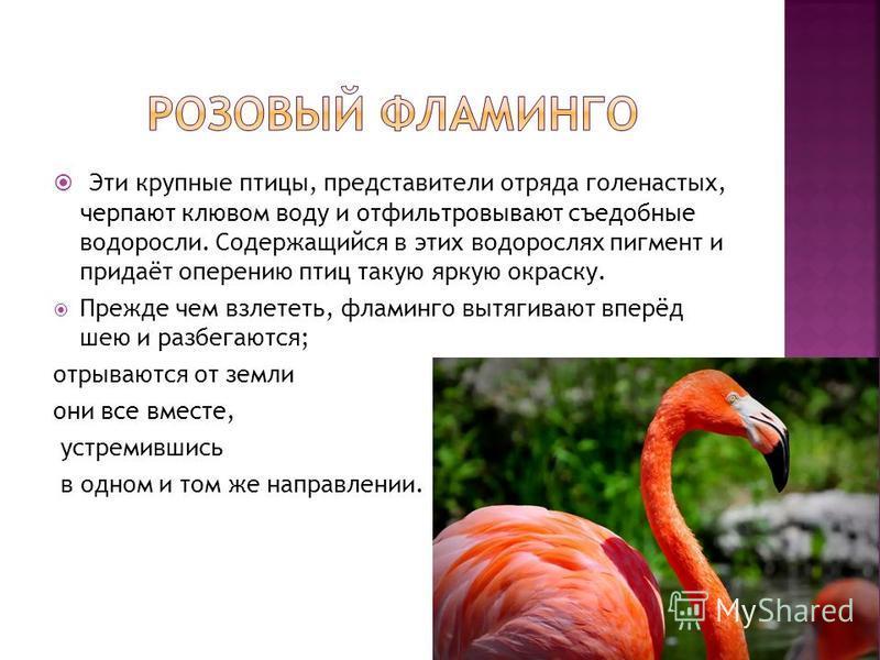 Эти крупные птицы, представители отряда голенастых, черпают клювом воду и отфильтровывают съедобные водоросли. Содержащийся в этих водорослях пигмент и придаёт оперению птиц такую яркую окраску. Прежде чем взлететь, фламинго вытягивают вперёд шею и р