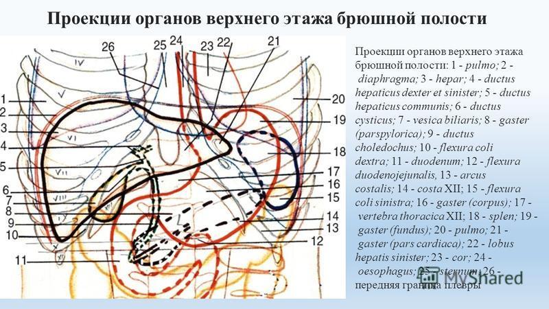 Проекции органов верхнего этажа брюшной полости: 1 - pulmo; 2 - diaphragma; 3 - hepar; 4 - ductus hepaticus dexter et sinister; 5 - ductus hepaticus communis; 6 - ductus cysticus; 7 - vesica biliaris; 8 - gaster (parspylorica); 9 - ductus choledochus