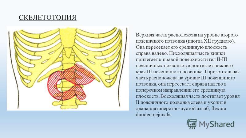 СКЕЛЕТОТОПИЯ Верхняя часть расположена на уровне второго поясничного позвонка (иногда XII грудного). Она пересекает его срединную плоскость справа налево. Нисходящая часть кишки прилегает к правой поверхности тел II-III поясничных позвонков и достига