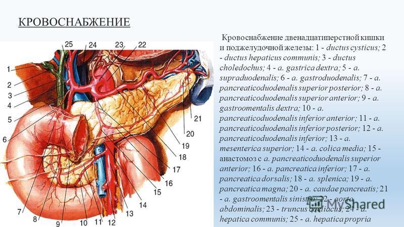 КРОВОСНАБЖЕНИЕ Кровоснабжение двенадцатиперстной кишки и поджелудочной железы: 1 - ductus cysticus; 2 - ductus hepaticus communis; 3 - ductus choledochus; 4 - a. gastrica dextra; 5 - a. supraduodenalis; 6 - а. gastroduodenalis; 7 - a. pancreaticoduod