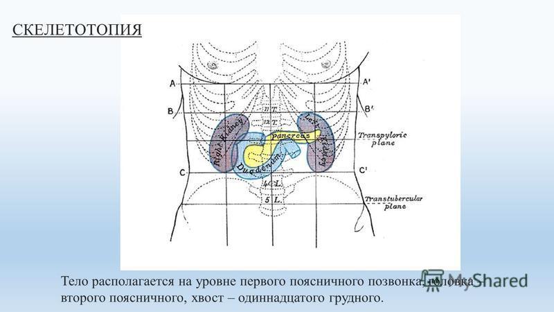 Тело располагается на уровне первого поясничного позвонка, головка – второго поясничного, хвост – одиннадцатого грудного. СКЕЛЕТОТОПИЯ