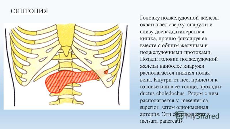 СИНТОПИЯ Головку поджелудочной железы охватывает сверху, снаружи и снизу двенадцатиперстная кишка, прочно фиксируя ее вместе с общим желчным и поджелудочными протоками. Позади головки поджелудочной железы наиболее кнаружи располагается нижняя полая в