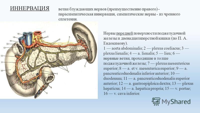 ИННЕРВАЦИЯ Нервы передней поверхности поджелудочной железы и двенадцатиперстной кишки (по П. А. Евдокимову). 1 aorta abdominalis; 2 plexus coeliacus; 3 plexus lienalis; 4 a. lienalis; 5 lien; 6 нервные ветви, проходящие в толще поджелудочной железы;
