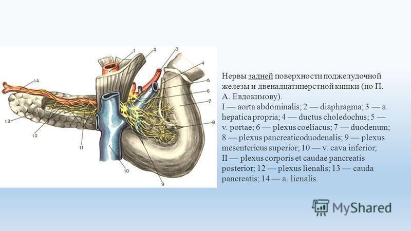 Нервы задней поверхности поджелудочной железы и двенадцатиперстной кишки (по П. А. Евдокимову). I aorta abdominalis; 2 diaphragma; 3 a. hepatica propria; 4 ductus choledochus; 5 v. portae; 6 plexus coeliacus; 7 duodenum; 8 plexus pancreaticoduodenali