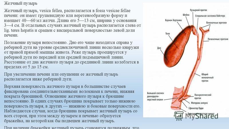 Желчный пузырь Желчный пузырь, vesica fellea, располагается в fossa vesicae fellae печени: он имеет грушевидную или веретенообразную форму и вмещает 4060 мл желчи. Длина его 513 см, ширина у основания 34 см. В отдельных случаях желчный пузырь распола