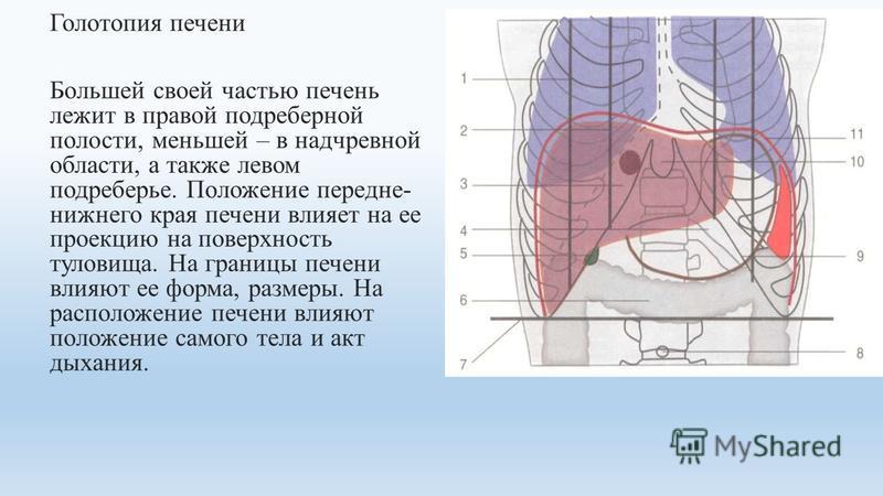 Голотопия печени Большей своей часетью печень лежит в правой подреберной полости, меньшей – в надчревной области, а также левом подреберье. Положение передне- нижнего края печени влияет на ее проекцию на поверхность туловища. На границы печени влияют