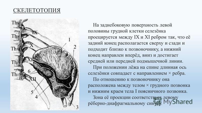 СКЕЛЕТОТОПИЯ На заднебоковую поверхность левой половины грудной клетки селезёнка проецируется между IX и XI ребром так, что её задний конец располагается сверху и сзади и подходит близко к позвоночнику, а нижний конец направлен вперёд, вниз и достига
