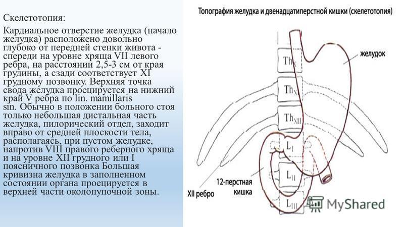 Скелетотопия: Кардиальное отверстие желудка (начало желудка) расположено довольно глубоко от передней стенки живота - спереди на уровне хряща VII левого ребра, на расстоянии 2,5-3 см от края грудины, а сзади соответствует XI грудному позвонку. Верхня