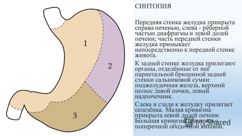 СИНТОПИЯ Передняя стенка желудка прикрыта справа печенью, слева - рёберной часетью диафрагмы и левой долей печени; часть передней стенки желудка примыкает непосредственно к передней стенке живота. К задней стенке желудка прилегают органы, отделённые