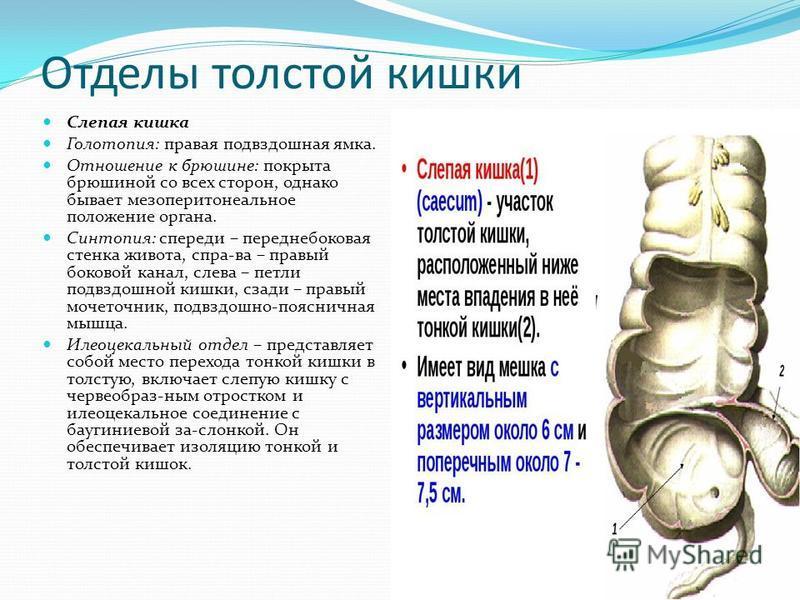 Отделы толстой кишки Слепая кишка Голотопия: правая подвздошная ямка. Отношение к брюшине: покрыта брюшиной со всех сторон, однако бывает мезоперитонеальное положение органа. Синтопия: спереди – переднебоковая стенка живота, спра-ва – правый боковой