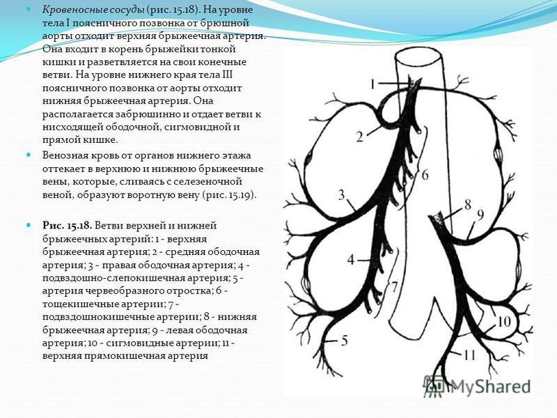 Кровеносные сосуды (рис. 15.18). На уровне тела I поясничного позвонка от брюшной аорты отходит верхняя брыжеечная артерия. Она входит в корень брыжейки тонкой кишки и разветвляется на свои конечные ветви. На уровне нижнего края тела III поясничного