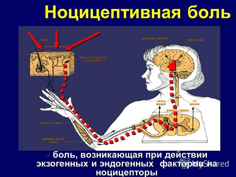 Ноцицептивная боль – боль, возникающая при действии экзогенных и эндогенных факторов на ноцицепторы