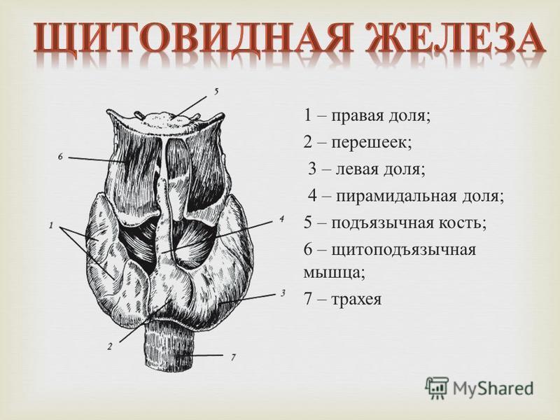 1 – правая доля ; 2 – перешеек ; 3 – левая доля ; 4 – пирамидальная доля ; 5 – подъязычная кость ; 6 – щитоподъязычная мышца ; 7 – трахея