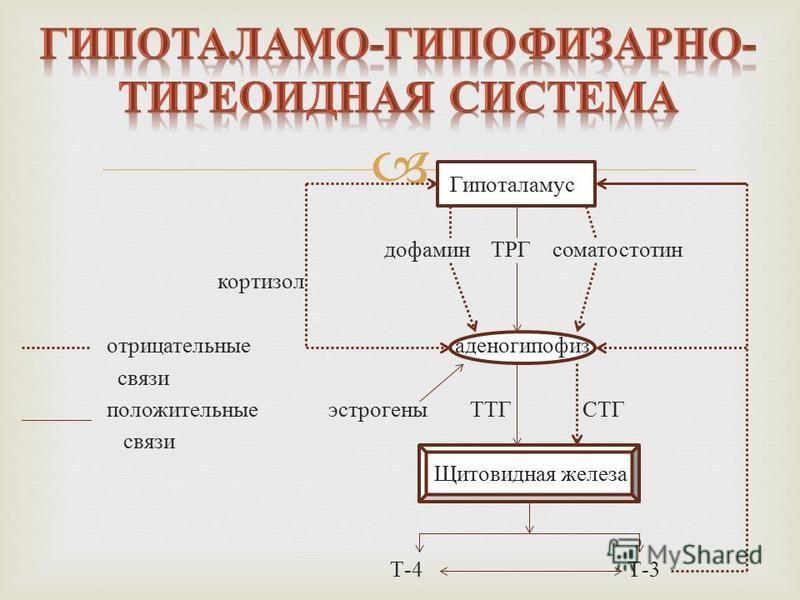 Гипоталамус дофамин ТРГ соматостатин кортизол отрицательные аденогипофиз связи положительные эстрогены ТТГ СТГ связи Щитовидная железа Т -4 Т -3