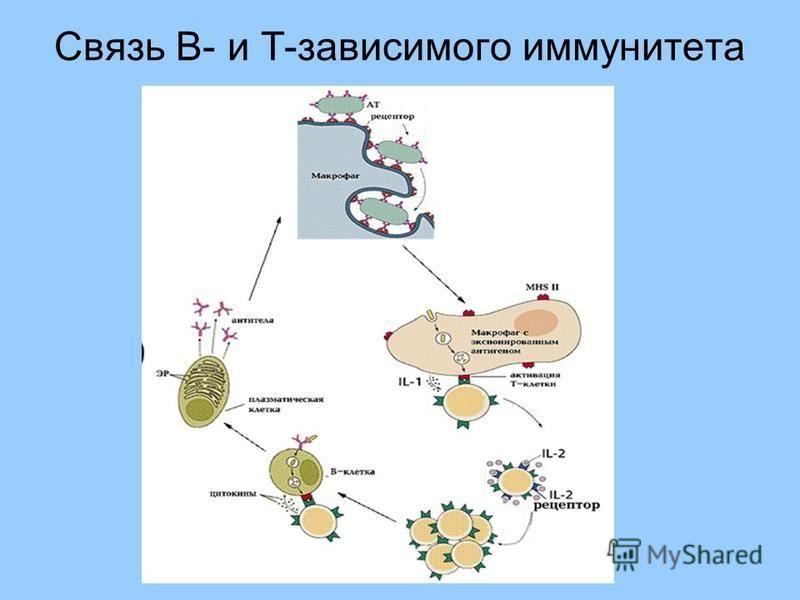 Связь B- и Т-зависимого иммунитета