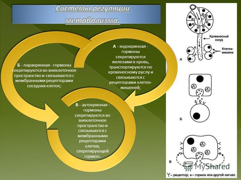 А - эндокринная - гормоны секретируются железами в кровь, транспортируются по кровеносному руслу и связываются с рецепторами клеток- мишеней; Б - паракринная - гормоны секретируются во внеклеточное пространство и связываются с мембранными рецепторами