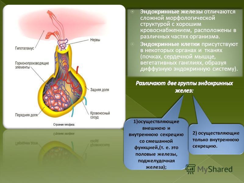 Эндокринные железы отличаются сложной морфологической структурой с хорошим кровоснабжением, расположены в различных частях организма. Эндокринные клетки присутствуют в некоторых органах и тканях (почках, сердечной мышце, вегетативных ганглиях, образу