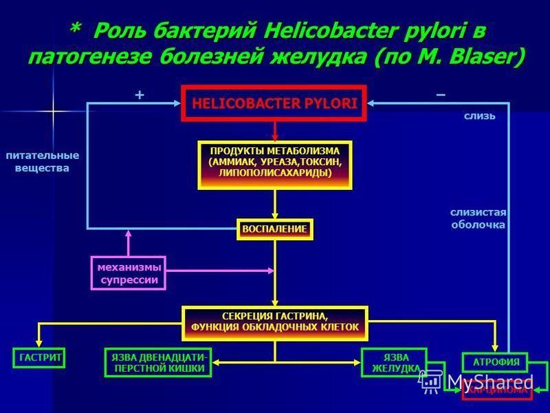 * Роль бактерий Helicobacter pylori в патогенезе болезней желудка (по M. Blaser) HELICOBACTER PYLORI ПРОДУКТЫ МЕТАБОЛИЗМА (АММИАК, УРЕАЗА,ТОКСИН, ЛИПОПОЛИСАХАРИДЫ) СЕКРЕЦИЯ ГАСТРИНА, ФУНКЦИЯ ОБКЛАДОЧНЫХ КЛЕТОК ВОСПАЛЕНИЕ ГАСТРИТЯЗВА ДВЕНАДЦАТИ- ПЕРСТ