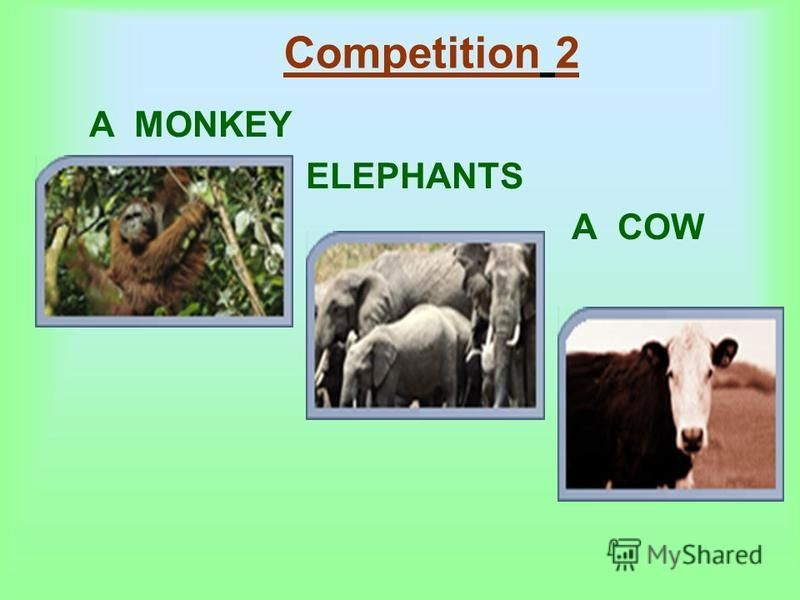 Competition 2 A MONKEY ELEPHANTS A COW