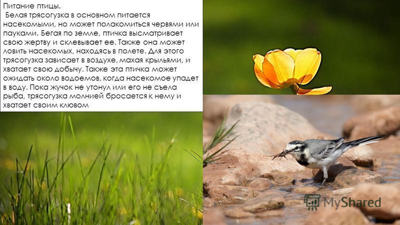 Питание птицы. Белая трясогузка в основном питается насекомыми, но может полакомиться червями или пауками. Бегая по земле, птичка высматривает свою жертву и склевывает ее. Также она может ловить насекомых, находясь в полете. Для этого трясогузка зави