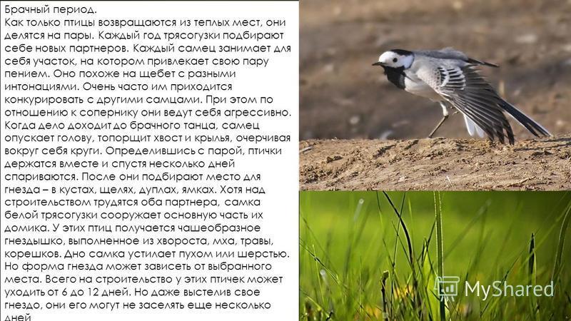 Брачный период. Как только птицы возвращаются из теплых мест, они делятся на пары. Каждый год трясогузки подбирают себе новых партнеров. Каждый самец занимает для себя участок, на котором привлекает свою пару пением. Оно похоже на щебет с разными инт