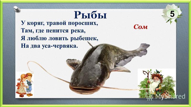 Сом У коряг, травой поросших, Там, где пенится река, Я люблю ловить рыбешек, На два уса-червяка. 5