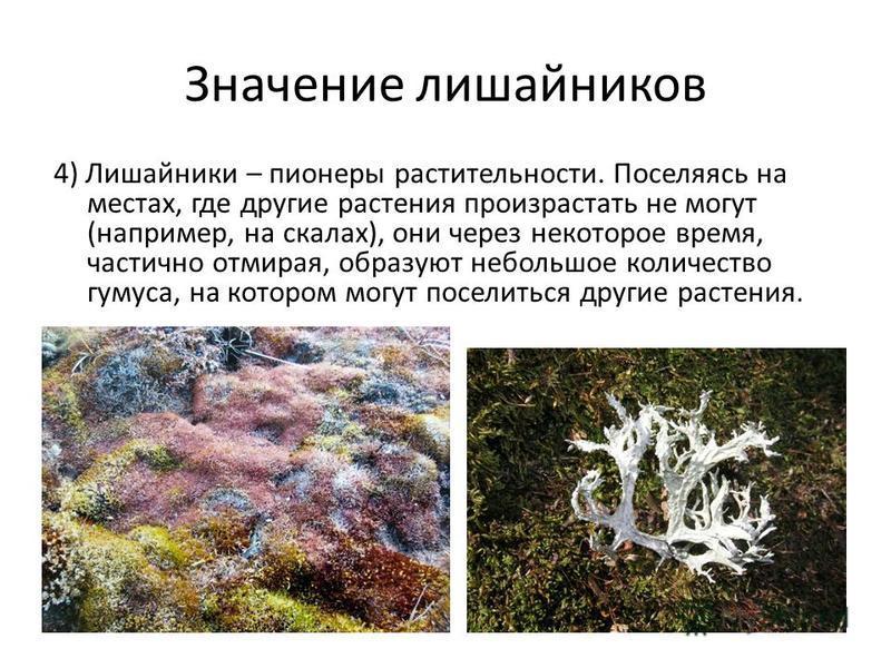 Значение лишайников 4) Лишайники – пионеры растительности. Поселяясь на местах, где другие растения произрастать не могут (например, на скалах), они через некоторое время, частично отмирая, образуют небольшое количество гумуса, на котором могут посел
