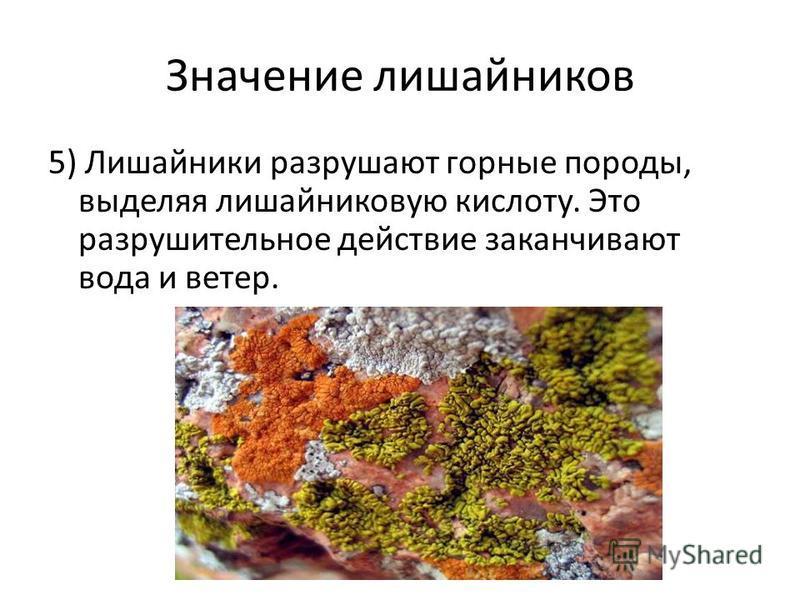 Значение лишайников 5) Лишайники разрушают горные породы, выделяя лишайниковую кислоту. Это разрушительное действие заканчивают вода и ветер.