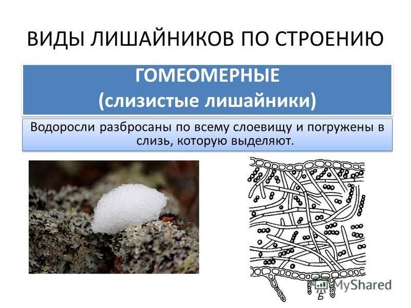 ВИДЫ ЛИШАЙНИКОВ ПО СТРОЕНИЮ ГОМЕОМЕРНЫЕ (слизистые лишайники) ГОМЕОМЕРНЫЕ (слизистые лишайники) Водоросли разбросаны по всему слоевищу и погружены в слизь, которую выделяют.