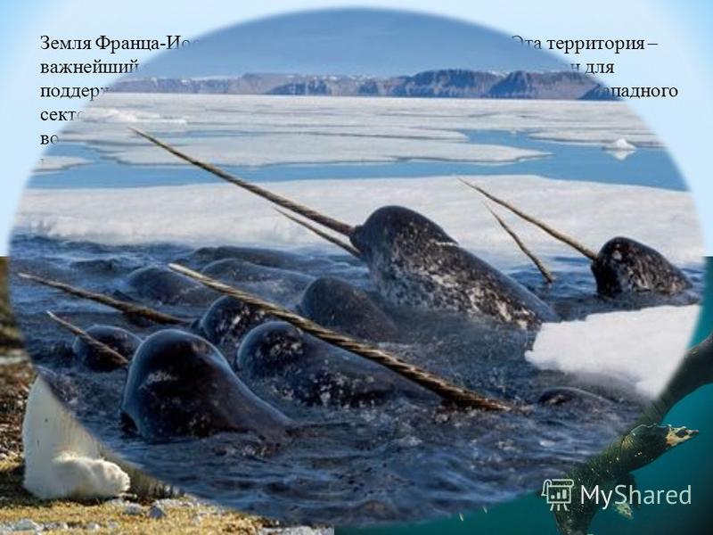 Земля Франца-Иосифа – самая северная суша Евразии. Эта территория – важнейший с природоохранной точки зрения и ключевой район для поддержания популяций редких видов морских млекопитающих Западного сектора Российской Арктики. Здесь находится основной