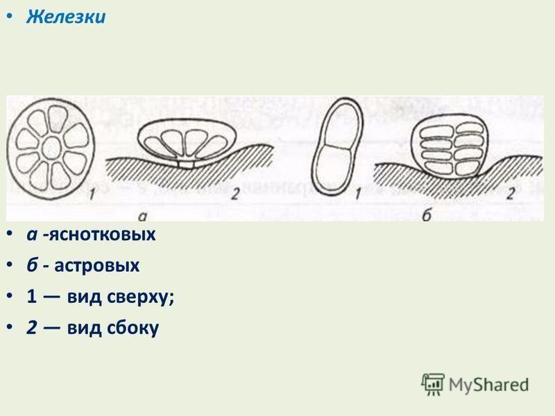 Железки а -яснотковых б - астровых 1 вид сверху; 2 вид сбоку