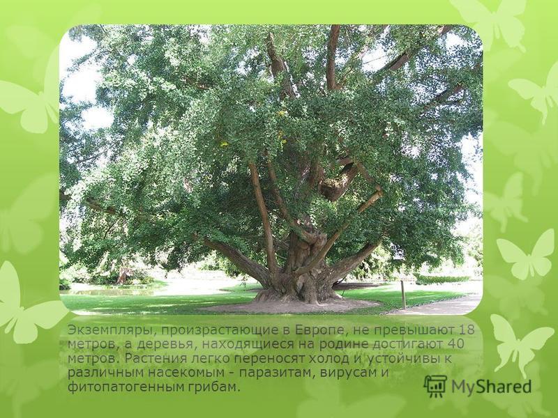 Экземпляры, произрастающие в Европе, не превышают 18 метров, а деревья, находящиеся на родине достигают 40 метров. Растения легко переносят холод и устойчивы к различным насекомым - паразитам, вирусам и фитопатогенным грибам. Они без труда выживают д
