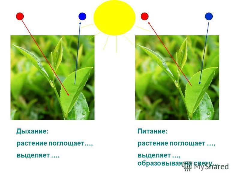 Питание: растение поглощает …, выделяет …, образовывая на свету… Дыхание: растение поглощает…, выделяет ….