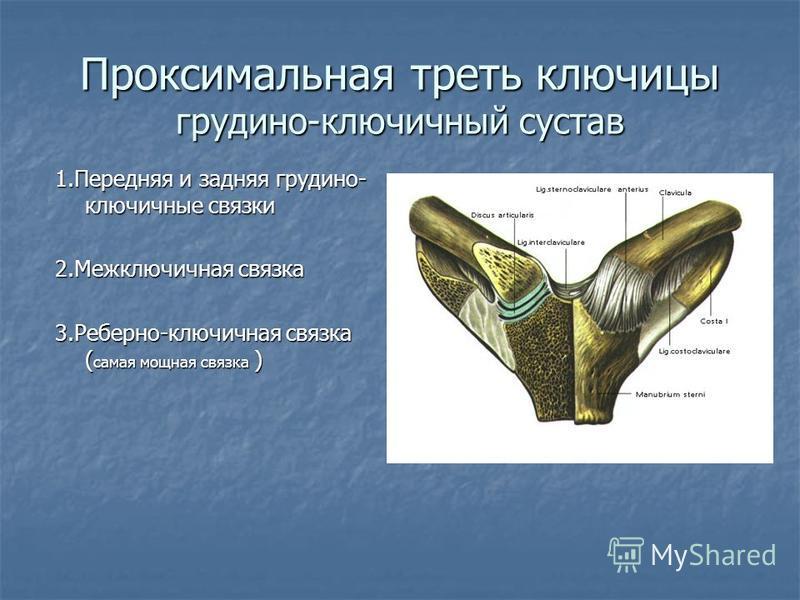 Проксимальная треть ключицы грудино-ключичный сустав 1. Передняя и задняя грудино- ключичные связки 2. Межключичная связка 3.Реберно-ключичная связка ( самая мощная связка )