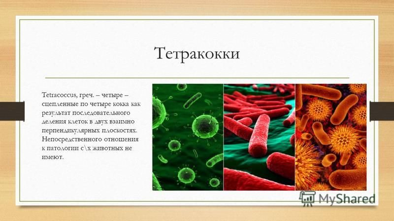 Тетракокки Tetracoccus, греч. – четыре – сцепленные по четыре кокка как результат последовательного деления клеток в двух взаимно перпендикулярных плоскостях. Непосредственного отношения к патологии с\х животных не имеют.