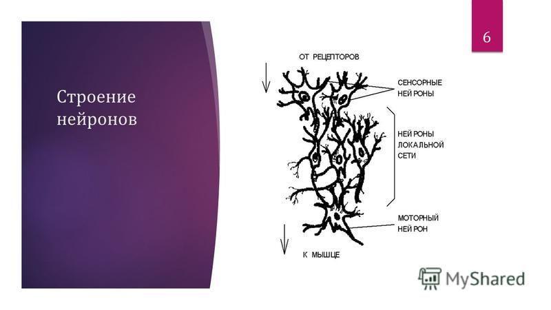 Строение нейронов 6