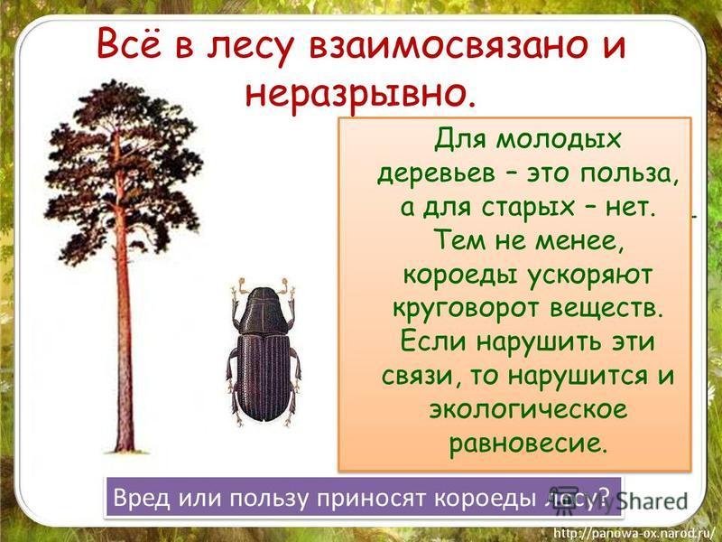 Всё в лесу взаимосвязано и неразрывно. Здоровому молодому дереву жуки-короеды не страшны. Любое повреждение на коре заливает- ся смолой. А вот когда дерево стареет, оно уже не может справиться с множеством короедов и погибает, освобождая место молоды