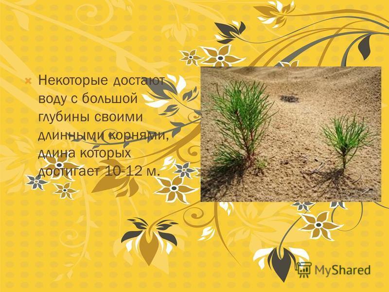 Растения, произрастающие в жарких и засушливых условиях пустынь, на протяжении длительного времени выработали специальные приспособления, помогающие им приспособиться к такому климату. Многие во время дождей запасают воду в листьях и стеблях. Это как