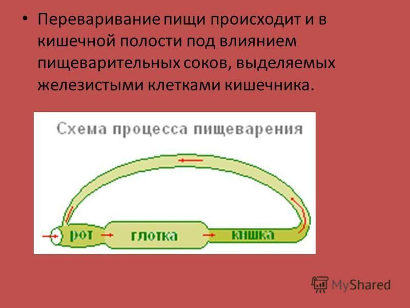 Переваривание пищи происходит и в кишечной полости под влиянием пищеварительных соков, выделяемых железистыми клетками кишечника.