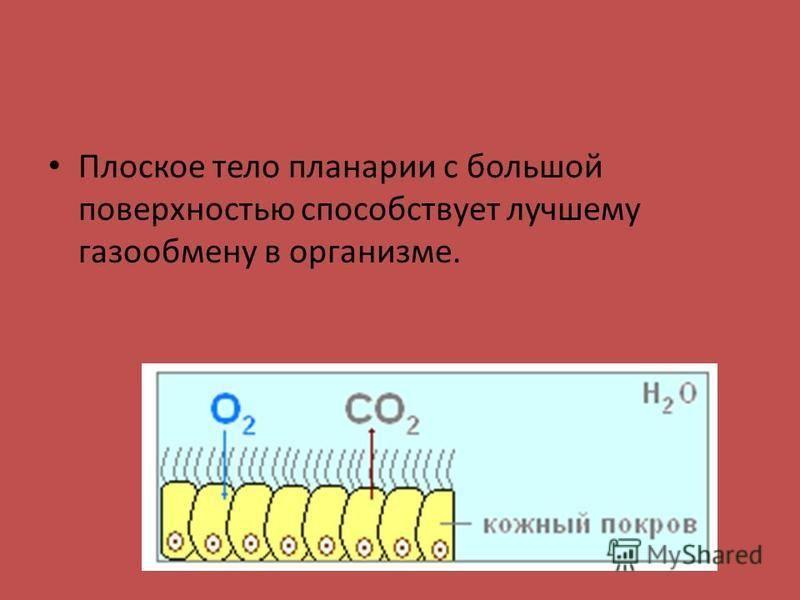 Плоское тело планарии с большой поверхностью способствует лучшему газообмену в организме.