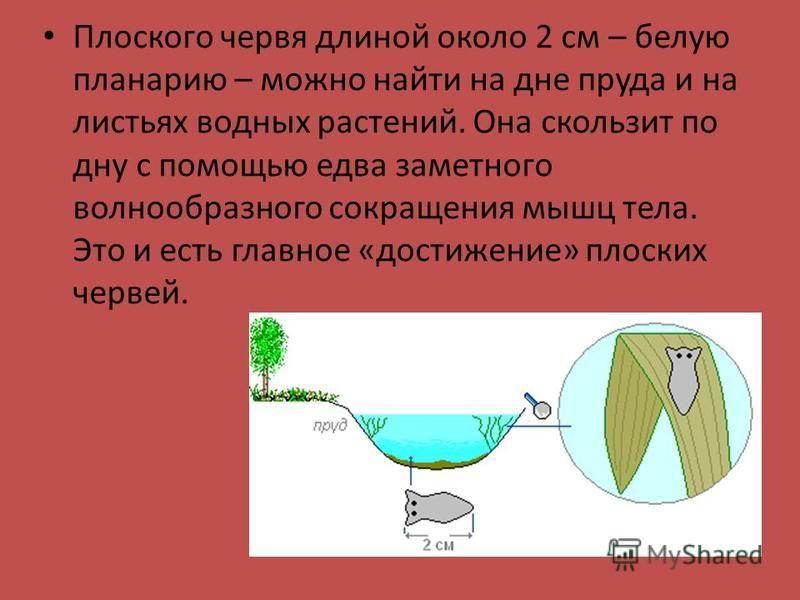Плоского червя длиной около 2 см – белую планарию – можно найти на дне пруда и на листьях водных растений. Она скользит по дну с помощью едва заметного волнообразного сокращения мышц тела. Это и есть главное «достижение» плоских червей.