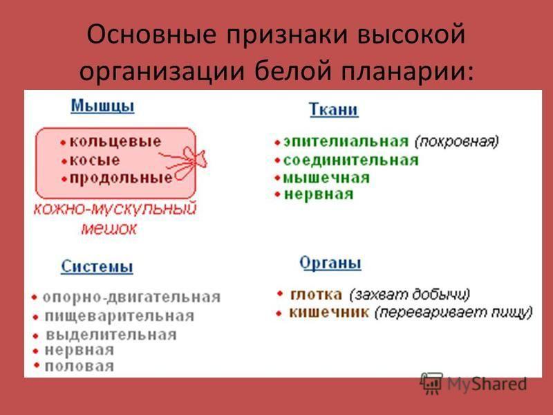 Основные признаки высокой организации белой планарии: